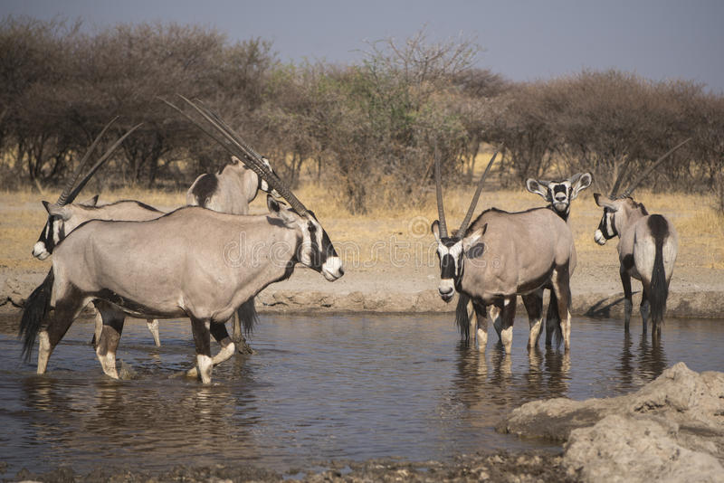 Gemsbok et x28 ; Oryx& x29 ; image stock