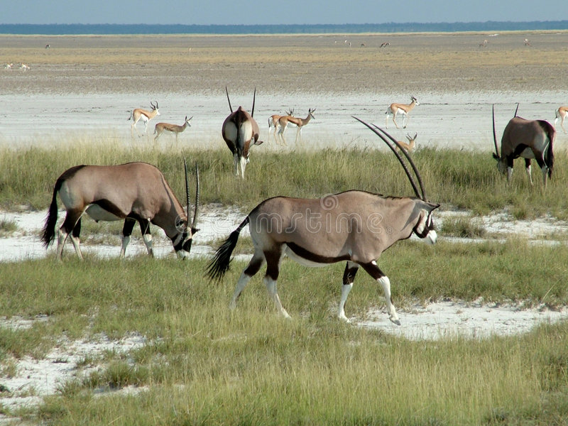 Gemsbok in Etosha Nationalpark fotografia stock