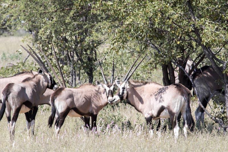 Gemsbok, gazella del gazella dell'orice, nel parco nazionale di Etosha, la Namibia fotografia stock