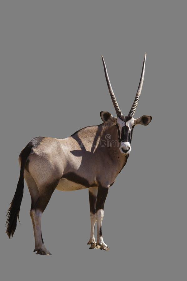 Gemsbok (Gazella del Oryx) immagine stock libera da diritti
