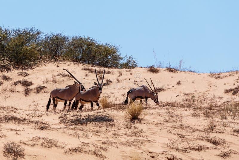 Gemsbok, gazella del Oryx en la duna de arena imagen de archivo