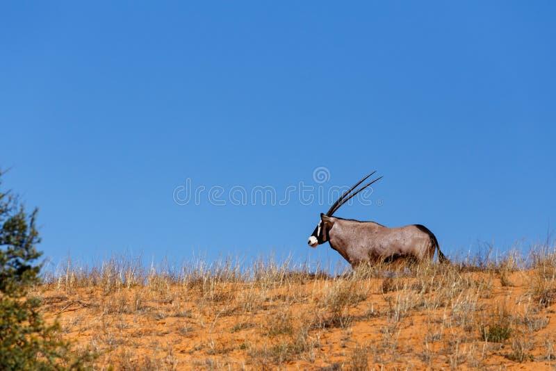 Gemsbok, gazella del Oryx en la duna de arena fotografía de archivo libre de regalías
