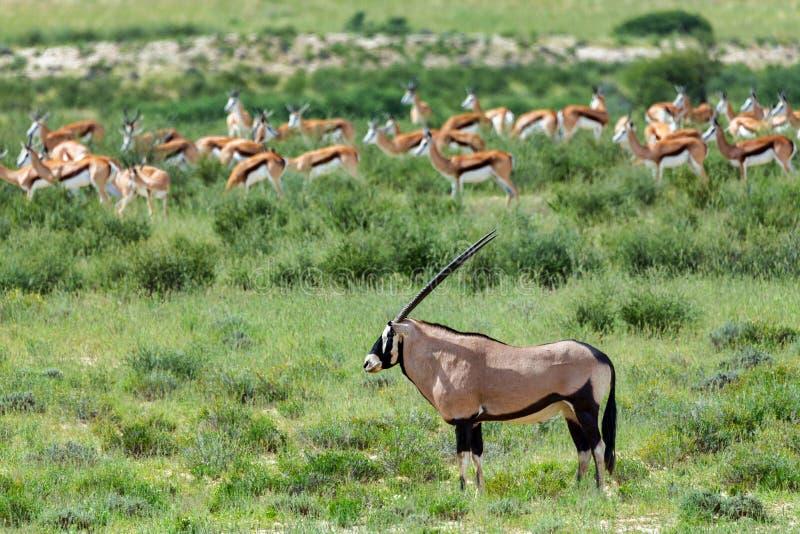 Gemsbok, gazella dell'orice in Kalahari immagini stock