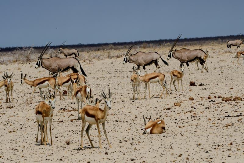 Gemsbok i Impala w safari krajobrazie zdjęcie royalty free