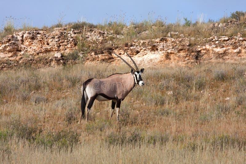 Download Gemsbok in Kalahari stock image. Image of south, gemsbok - 19533719