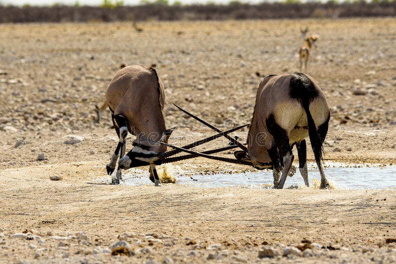 Gemsbok locking horns in a fight royalty free stock images