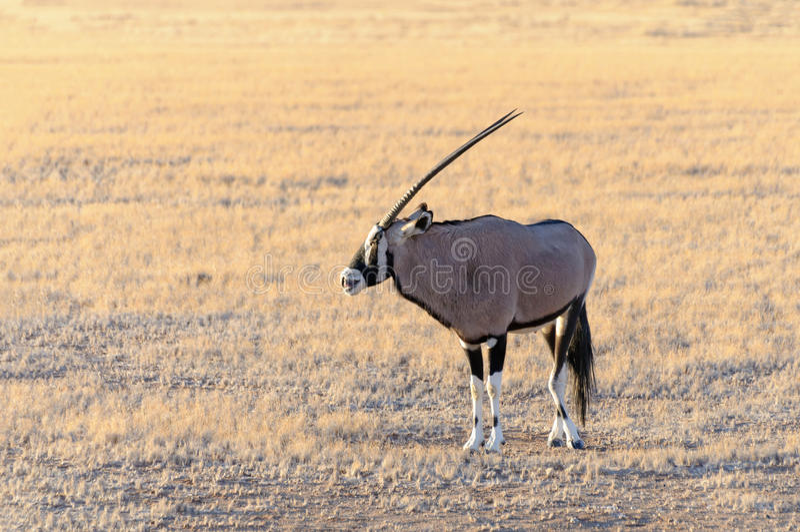 Gemsbok (orice) nel parco nazionale di Namib-Naukluft fotografia stock