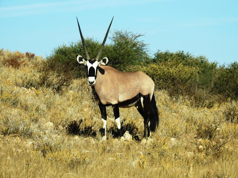 Gemsbok, Orix, Gazella. Gemsbok, Orix Gazella, Kalahari Desert, South Africa royalty free stock image