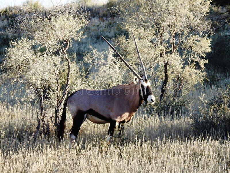 Gemsbok, Orix Gazella. Kalahari Desert, South Africa royalty free stock image