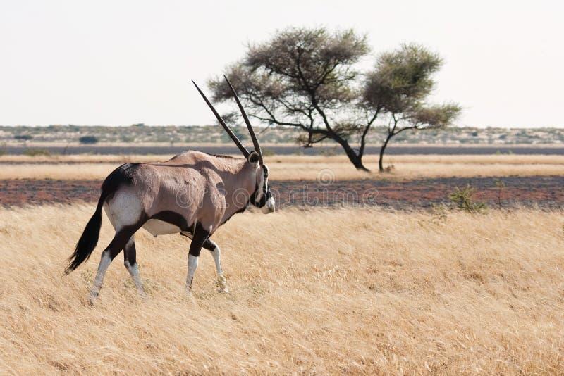 gemsbok oryx zdjęcia royalty free