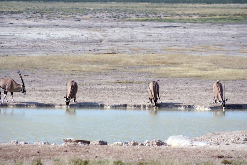 Gemsbok (Oryx) bij waterhole stock afbeeldingen