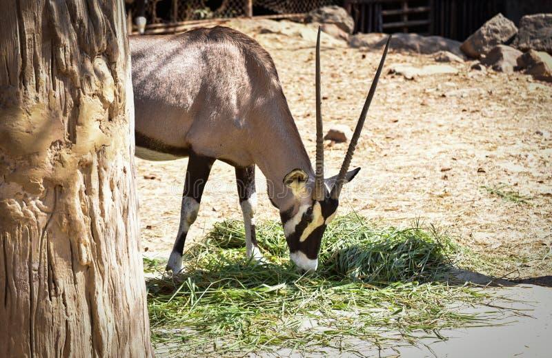 Gemsbok oryx gazella royalty free stock image