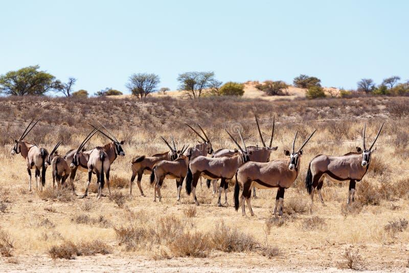 Gemsbok, Oryx-gazella op zandduin royalty-vrije stock fotografie