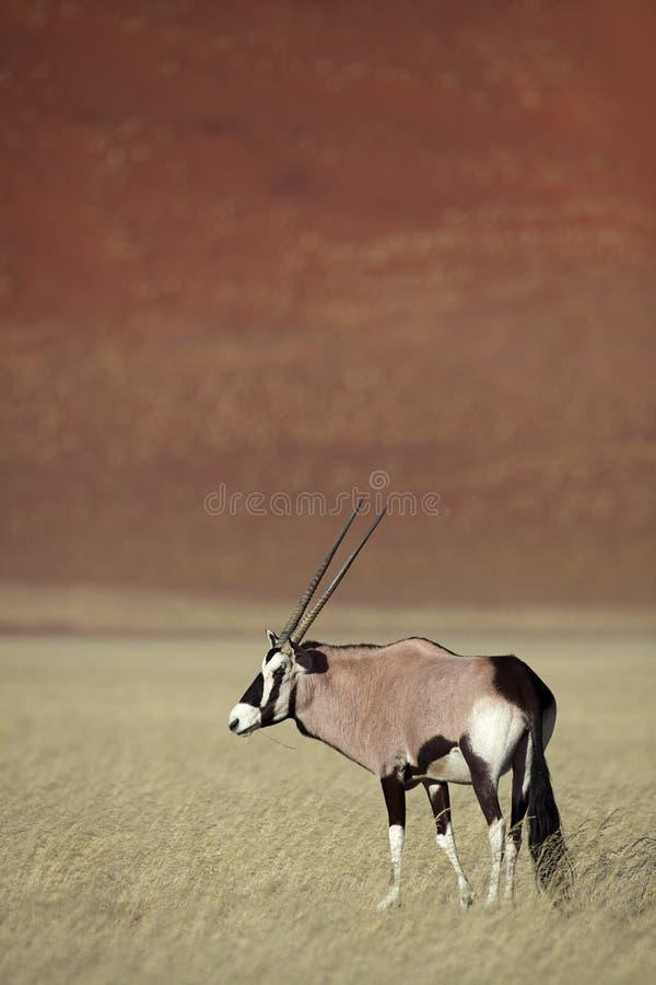 Gemsbok oryx in Namib Desert royalty free stock photography
