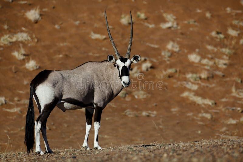Download Gemsbok Oryx, Namib Desert Dunes Stock Photo - Image: 11193034