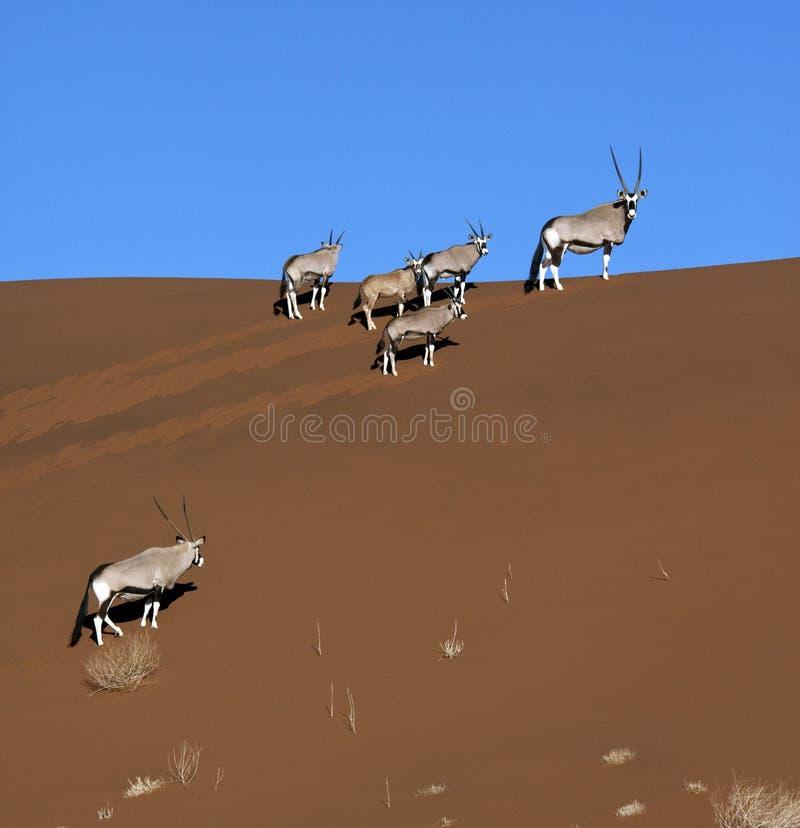 Gemsbok (Oryx) - Namib-Nuakluft Desert - Namibia royalty free stock photos