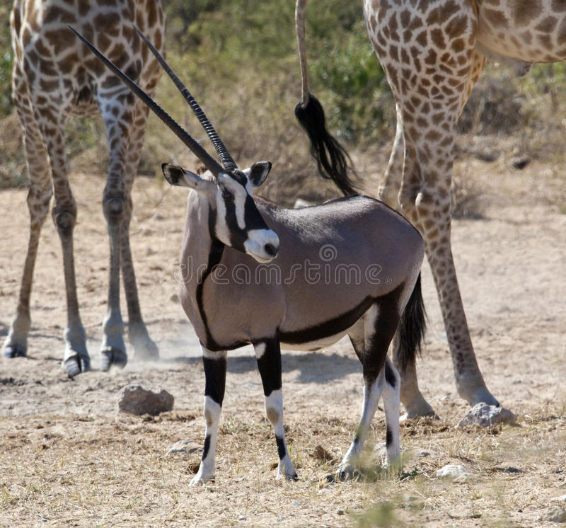Download Gemsbok (Oryx) - Namibia stock photo. Image of gazelle - 13929570