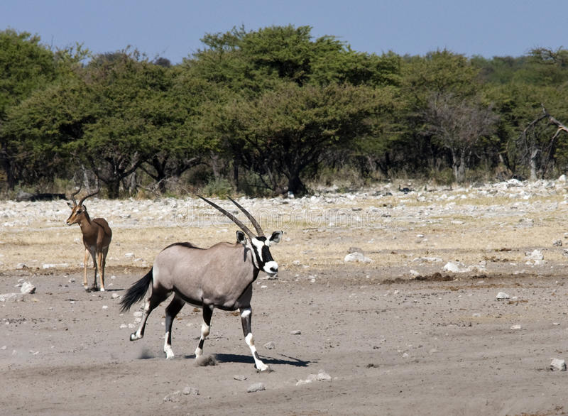 Download Gemsbok (Oryx) - Namibia Royalty Free Stock Photo - Image: 13939685