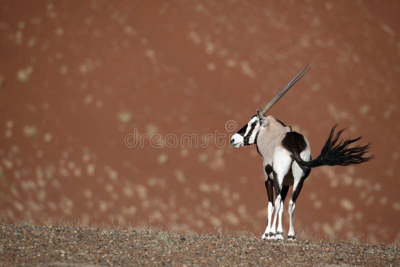 Gemsbok oryx in red dunes of Namib desert stock photos