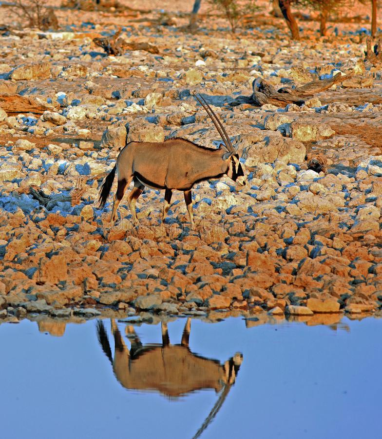 A Lone Gemsbok Oryx walking past a waterhole with a lovely reflection and soft light in Etosha National Park, Namibia. Gemsbok Oryx standing next to a waterhole stock photography