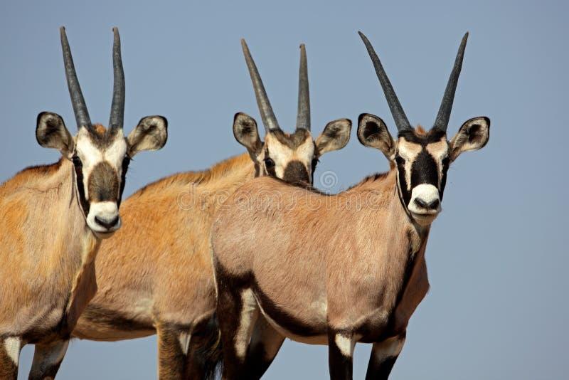 Gemsbok oryx trio of calves, Kalahari desert royalty free stock images