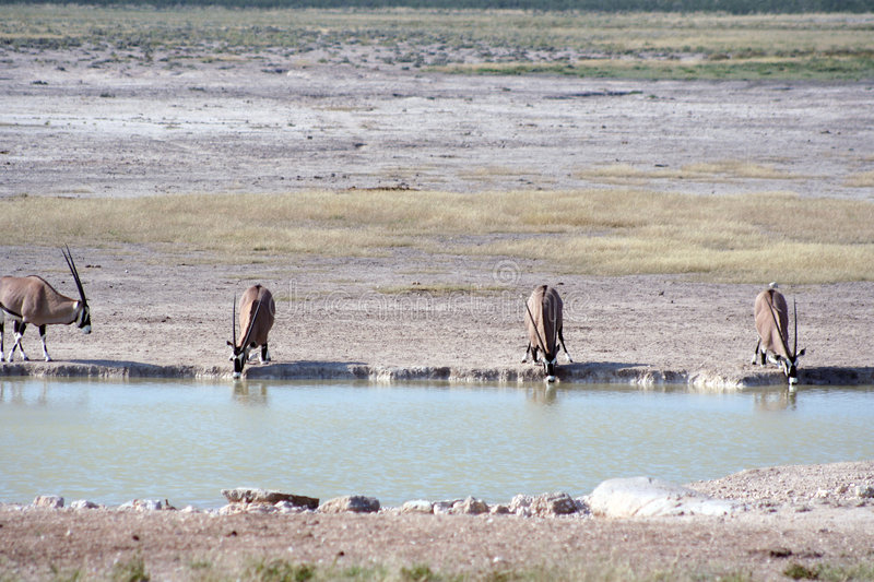 Gemsbok (Oryx) am waterhole stockbilder