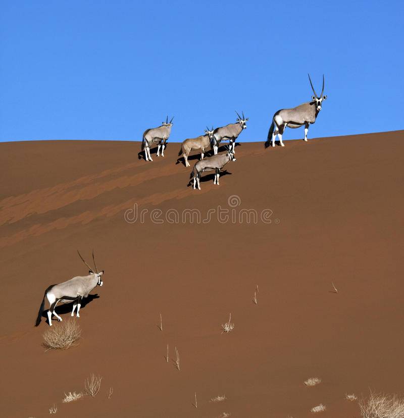 Gemsbok (Oryx) - Woestijn namib-Nuakluft - Namibië royalty-vrije stock foto's