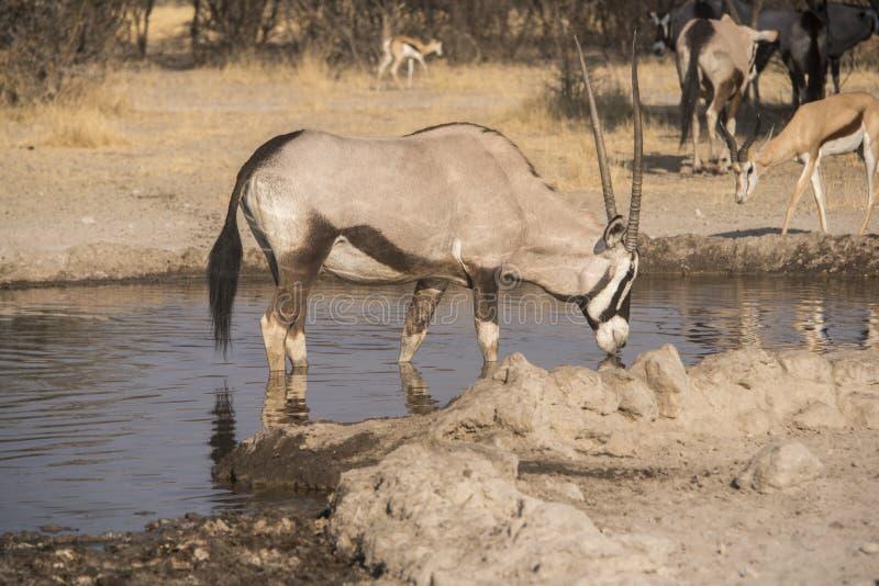 Gemsbok & x28; Oryx& x29; fotos de stock