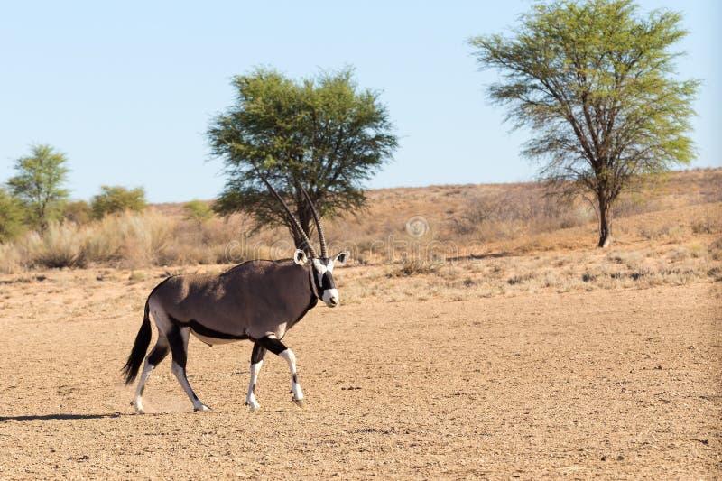 Gemsbok oryxantilopgasell i kgalagadien, Sydafrika safaridjurliv arkivfoton
