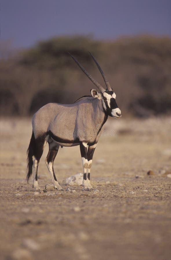 Gemsbok ou Gemsbuck, gazella do Oryx fotos de stock