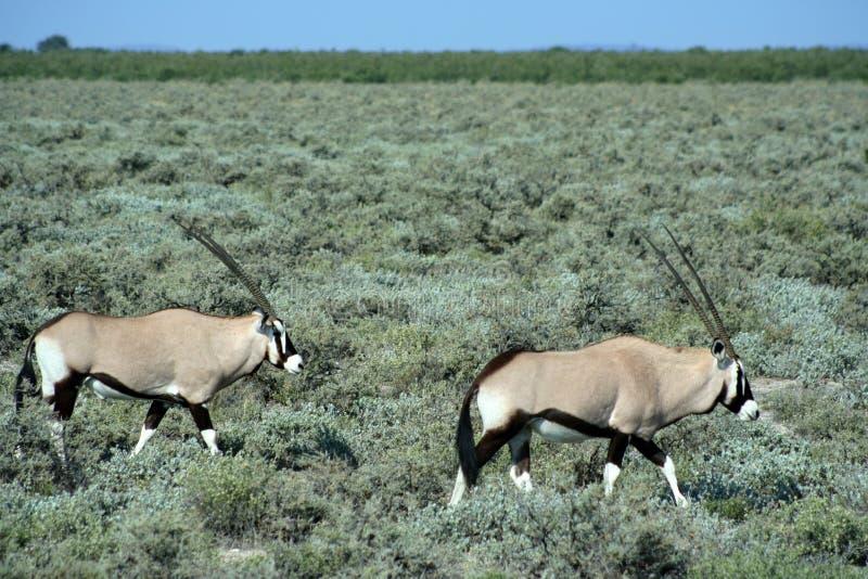 Gemsbok que viaja en bushland foto de archivo libre de regalías