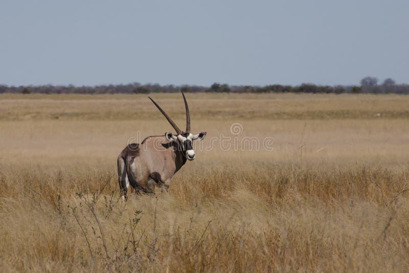 Gemsbok salvaje en sabana imagenes de archivo