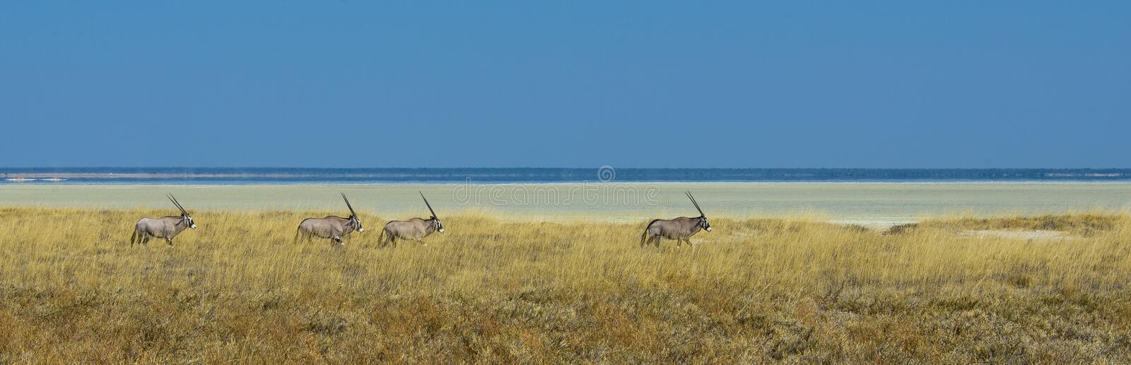 Gemsbok seul photographie stock