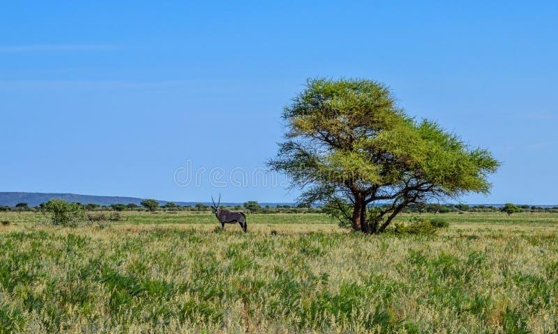 GemsbokandCamel Thorn Tree arkivfoto