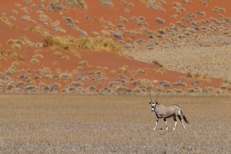 Gemsbokantilop (oryxantilopgazellaen) arkivbild
