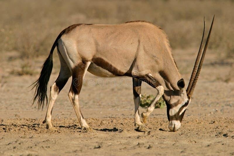 Gemsbokantilope stockbild