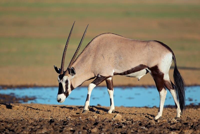 Gemsbokantilope stockfoto