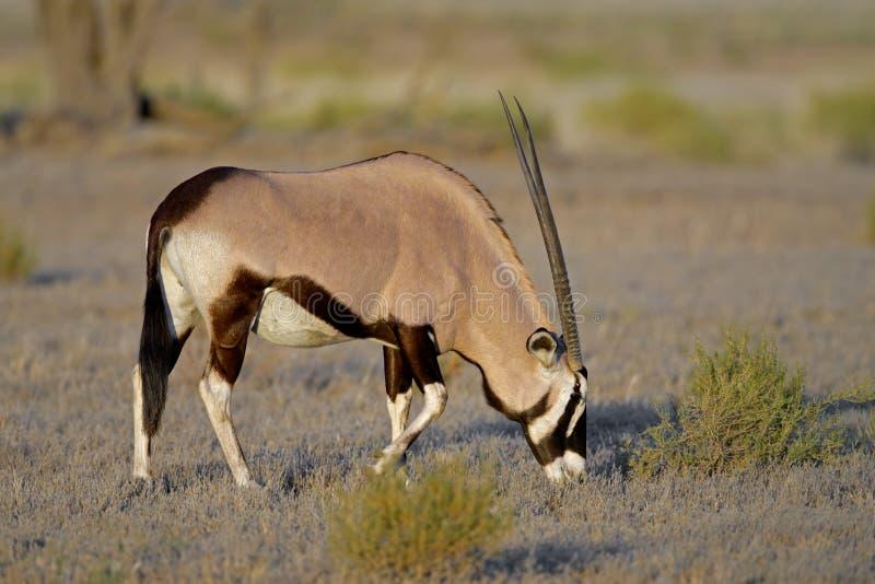 Gemsbokantilope stockfotos
