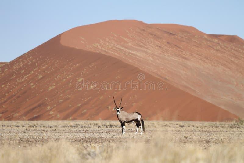 Gemsbokantilope (oryx), Sossusvlei, Namibië stock afbeelding