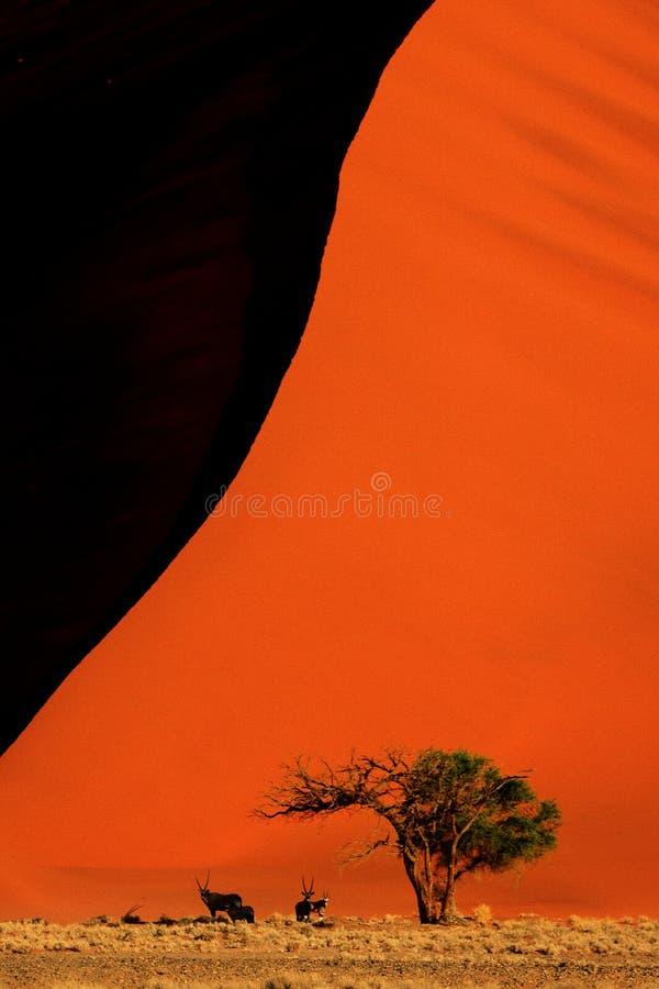 Gemsbokoryxantilop på dyn 45, Sossusvlei, Namibia royaltyfria foton