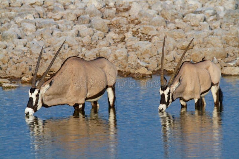GemsbokoryxantilopNamibia öknar och natur i nationalparker arkivbilder