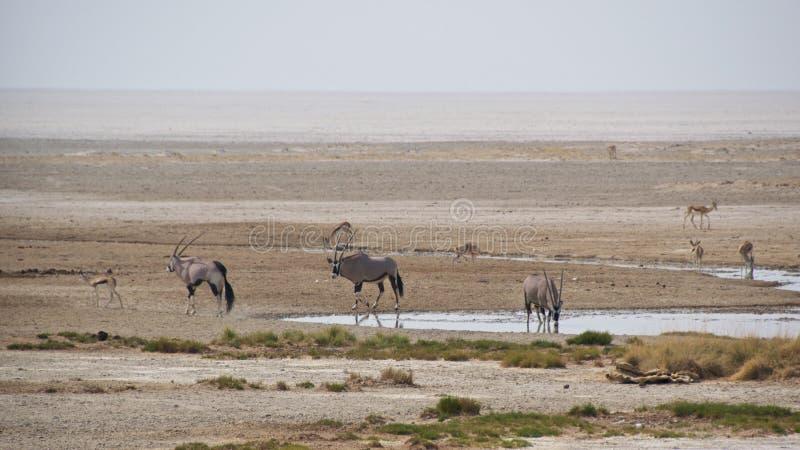Gemsboks e gazelas que recolhem no waterhole imagens de stock royalty free