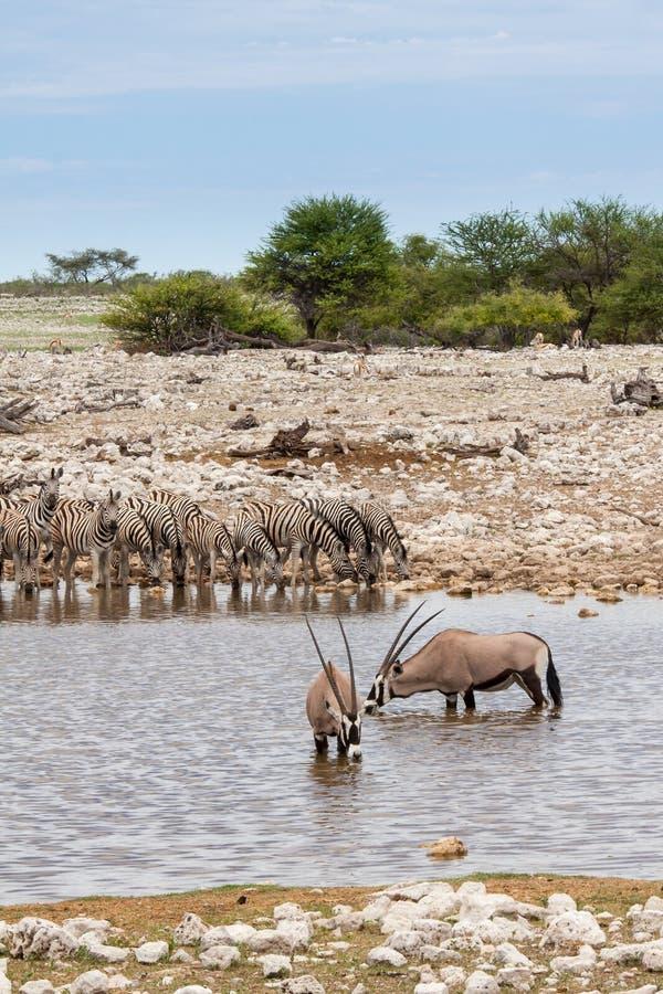 Gemsboks e zebras que bebem em Waterhole, parque nacional de Etosha, Namíbia foto de stock royalty free