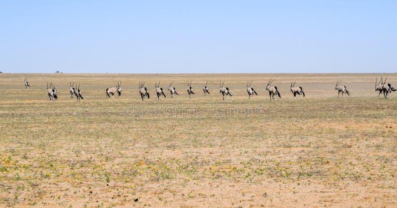 Gemsboks en Namibie image libre de droits
