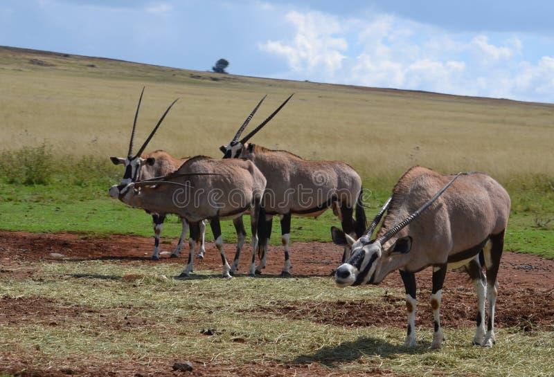 Gemsbuck of Oryx royalty-vrije stock foto's