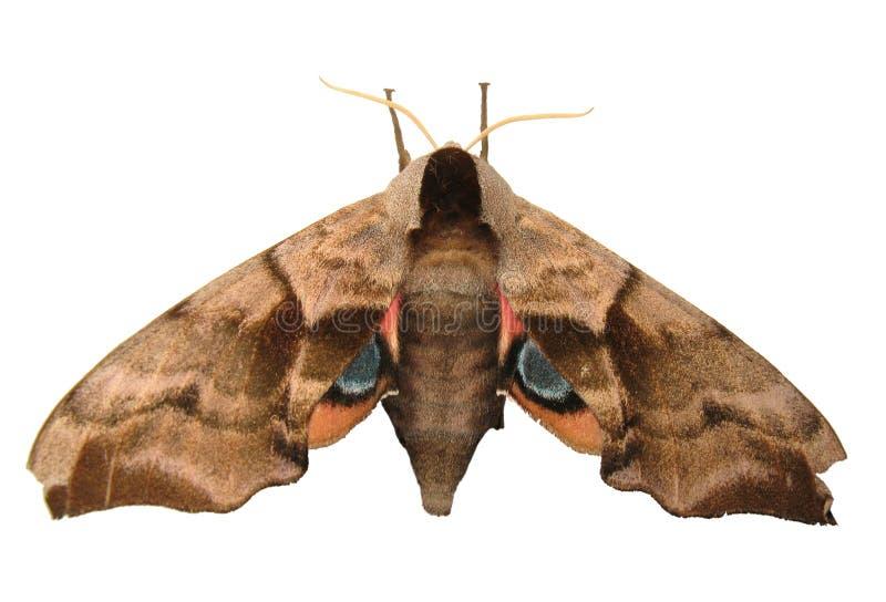 Gemusterte Falke-Motte stockfoto