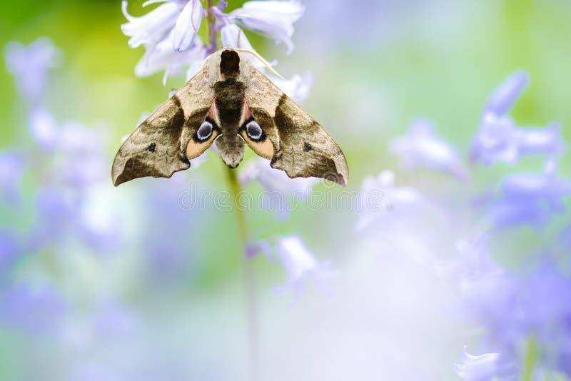 Gemusterter Hawk Moth, Pauwoogpijlstaart, Smerinthus-ocellata stockbild