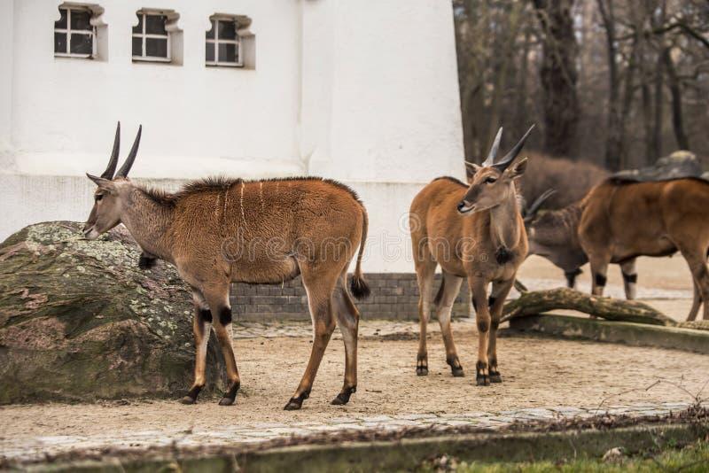 Gemzen bij dierentuin in Berlijn royalty-vrije stock afbeelding