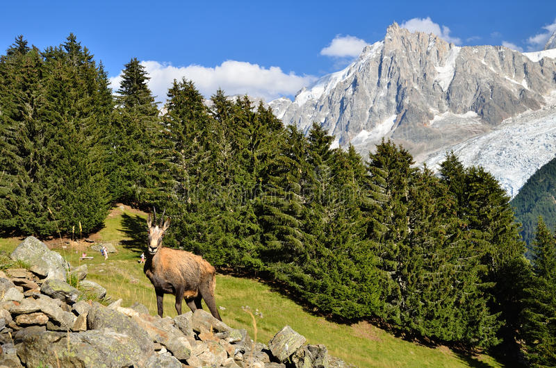 Gemzen in Chamonix, Frankrijk royalty-vrije stock foto