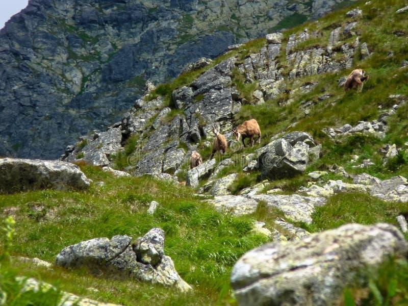 Gemzen in de bergen royalty-vrije stock foto